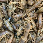 ozark-fish-crawdaddies